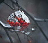 Rowan-berries — Stockfoto