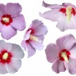 Collection of isolated Hibiscus - Stock Photo