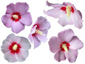 Collection of isolated Hibiscus — Stock Photo
