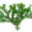 Fir branch — Stock Photo #4282314