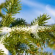 Royalty-Free Stock Photo: Christmas evergreen spruce tree with fresh snow