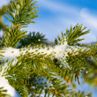 Christmas evergreen spruce tree with fresh snow — Stock Photo #4559073