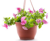 Petunia pot — Stock Photo
