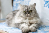 Gato persa — Foto de Stock