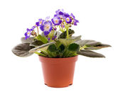 Blue violet houseplant — Stock Photo