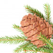 Great fir cone — 图库照片