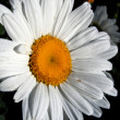 Leucanthemum - Stock Photo