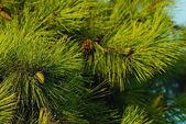 Evergreen — Stock Photo