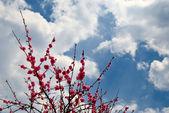 Prunus — Stok fotoğraf