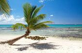 La palma en la hermosa playa del caribe — Foto de Stock