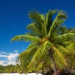 Palm on caribbean sea, island Saona - Stock Photo