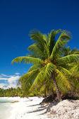 Palm на карибского моря, остров саона — Стоковое фото