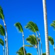 Tops of palm trees — Stock Photo