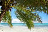 Palm on calm caribbean beach — Stock Photo