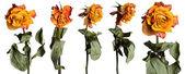 Faded roses set — Stock Photo