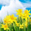 Stock Photo: Spring yellow flowers