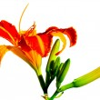 Orange lilly — Stock Photo #3948575