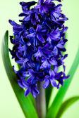 Jacinto azul — Foto de Stock