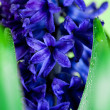 Blue hyacinth — Foto Stock #5258919