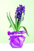 Hyacinth blossom — Stock Photo