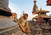 Sitting monkey on swayambhunath stupa in Kathmandu, Nepal — Stock Photo