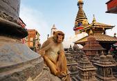 Sitting monkey on swayambhunath stupa in Kathmandu, Nepal — Stock Photo