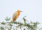 White bubulcus ibis sitting on bamboo tree, Pokhara, Nepal — Stock Photo