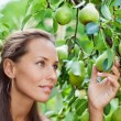 Beautiful woman picking the pear in the garden — Stock Photo #4388614