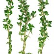 Fresh green thyme twigs, isolated — Stock Photo #4934017