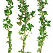 Fresh green thyme twigs, isolated - Stock Photo