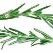 Fresh green rosemary twigs - Stock Photo