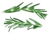 Fresh green rosemary twigs — Stock Photo