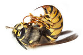 Bee or wasp macro — Stockfoto