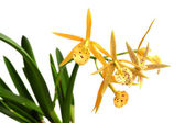 Yellow orchid isolated on white — Stock Photo