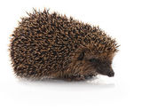Closeup of hedgehog — Foto Stock