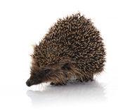 Hodgehog portrait — Stock Photo