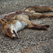 Dead fox on asphalt — Photo