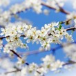 Cherry blossom flower — Stock Photo