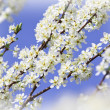 Stock Photo: Cherry blossom flower