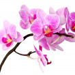Isolated orchid — Stock Photo