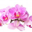 Orchid on white — Stock Photo