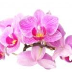 Orquídea en blanco — Foto de Stock