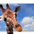 Giraffe on a background of the sky — Stock Photo