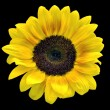 Sunflower on black — Stock Photo