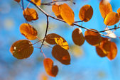 Autumnal yellow and orange leaves on branch — Stock Photo
