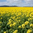 Canola in the farm field — Stock Photo