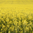 Canola in the farm field — Stock Photo #4853666