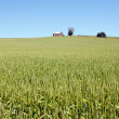Wheat grass in countryside - Foto de Stock  