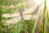 Young dragonfly — Stock Photo