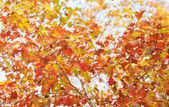 Colourful leaves in autumn — Stock Photo